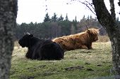 Scottish Highland Cattle Resting And Chewing The Cud