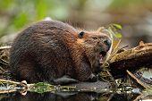 North American Beaver Yawning - Ontario, Canada