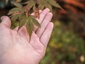 Hand Touching Maple Leaf, Maple Maple Leaves In Blurred Background. poster