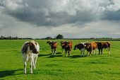 Cows Grazing On Grassy Green Field. Countryside Landscape With Cloudy Sky, Pastureland For Domestica poster