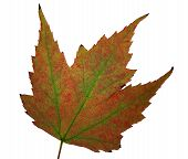 Red And Green Maple Leaf Over White