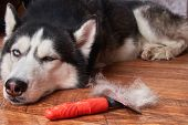 Concept Annual Molt, Coat Shedding, Moulting Dog. Siberian Husky Lies On Wooden Floor Next To Red Ra poster