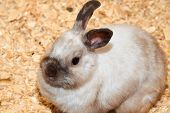 Domestic Rabbit A Domestic Rabbit (oryctolagus), More Commonly Known As Simply A Rabbit, Is Any Of T poster