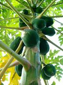 foto of enzyme  - A papaya  - JPG