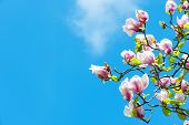 Magnolia Tree In Blossom On Blue Sky. Flowers Blossoming With Violet Petals On Sunny Day. Spring Sea poster
