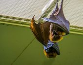 Portrait Of A Rodrigues Flying Fox Hanging On The Ceiling, Tropical Mega Bat, Endangered Animal Spec poster