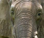 Elephant Closeup