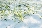 Early Snow On Still Green Grass. Early Winter. poster