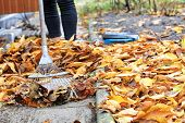 Yellow, Orange, Fallen Cherry Leaves In Autumn In The Autumn Garden Are Raked With A Metal Rake From poster