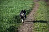 Fetching Border Collie Dog With A Stick Running In A Field. poster
