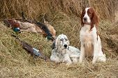 picture of hunt-shotgun  - Two Bird dog resting after the hunt beside a shotguns and pheasants in front of a hay horizontal - JPG