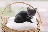 Handsome Gray Kitty Sitting On Pillow In Basket And Looking In Camera. Cute Smart Feline. Selective  poster