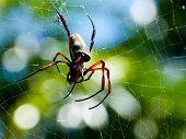Spider(nephila Antipodiana)