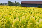stock photo of tobacco barn  - Tobacco farm - JPG