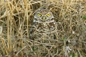 Burrowing Owl Hiding in Grass