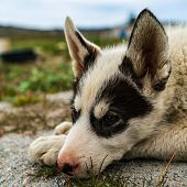 Greenland dog - a husky sled dog puppy in Ilulissat Greenland. Juvenile dog sled dog cute and adorab poster