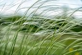 Feather Grass In The Meadow Inflates The Wind. Needle Grass, Nassella Tenuissima. Selective Focus poster