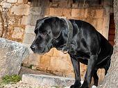 Постер, плакат: Черный лабрадор собаки Хьюго