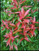Image Of Red Flower Buds In Bloom. Red Flower Buds. Summer Red Flower Buds In Indonesia. The Locatio poster