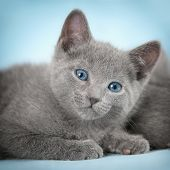 Kittens (breed