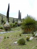 foto of centenarian  - Plants of the Andes as a symbol of  mountains - JPG