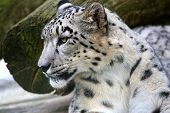 picture of snow-leopard  - a Portrait of a beautiful Snow Leopard - JPG