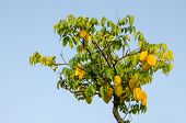 Carambola fruits on tree