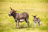 image of burro  - A mother burro braying with her foal next to her at Custer State Park South Dakota - JPG