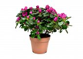 Blossoming Plant Of Azalea In Flowerpot Isolated On White