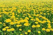 dandelions in the meadow