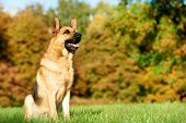 two German Shepherd Dogs sitting on green grass at autumn background