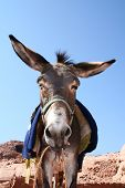 Funny Donkey In Rock City Petra / Jordan