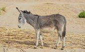 stock photo of donkey  - A Young Donkey Grazing Under Day Light - JPG