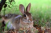Cottontail bunny rabbit under tree