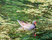 Coot (fulica) On A Lake