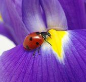 joaninha senta-se em uma pétala de flor