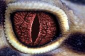 stock photo of animal eyes  - Red eyed lizard to look like dragon - JPG