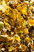 Yellow Leaf Litter In Autumn Forest In Sunny Day