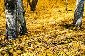 Yellow Fallen Leaves Under Birch Trees