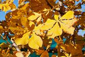Autumn Leaves Of Horse Chestnut Tree