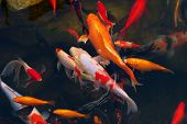 stock photo of fish pond  - Koi Carps Fish Japanese swimming  - JPG