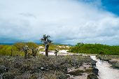 View of an area with Opuntia cactus at Galapagos island of Santa Cruz