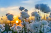 image of marsh grass  - Cotton grass on a background of the sunset sky