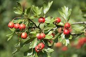 Hawthorn Berries in Germany