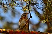 foto of brown thrush  - Song Thrush (Turdus philomelos) sitting on a branch