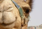 picture of close-up shot  - This camel seemed to like my camera so I got a great shot of its face right up close - JPG