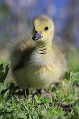 foto of baby goose  - Baby Canada Goose  - JPG