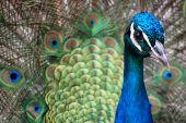 Peacock Intense Stare