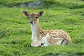 stock photo of bambi  - Fawn is lying on grass and looking behind camera - JPG