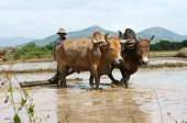 Farmer With Two Buffalo On Rice Field